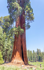 big sequoia trees are standing in Sequoia National Park, USA