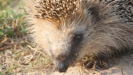 hedgehog  needle wild animal close up