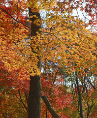Japanese maple trees Autumn color