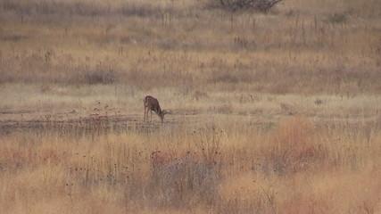 Whitetail Buck Grazing