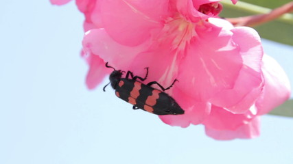 Beetle on a flower. India. Radzhastan.Udaypur