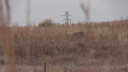 Whitetail Buck Running