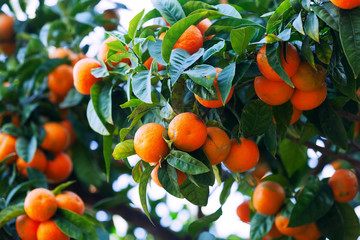 tangerines  on branch