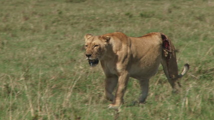 A badly wounded lion walking with her cub