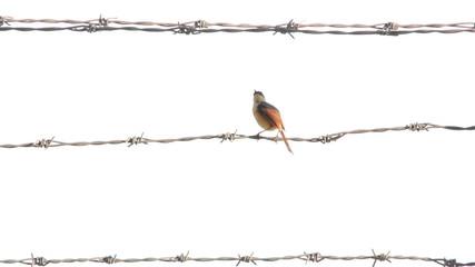 Bird sitting on barbed wire