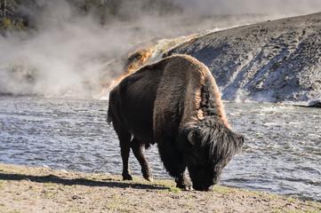 Bison near Excelsior geyser, Yellowstone (USA)