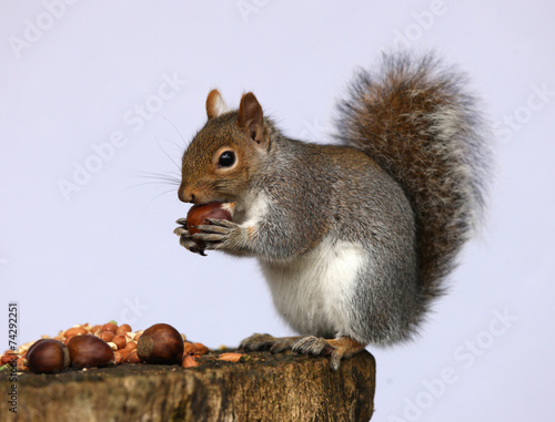 Aluminium Eekhoorn Portrait of a Grey Squirrel