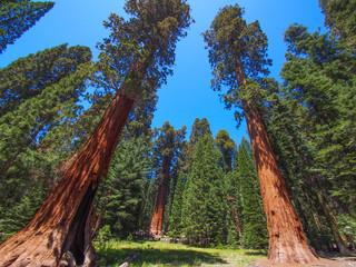 big sequoia trees  in Sequoia National Park, USA