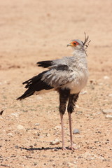sagittarius serpentarius uccello rapace africano