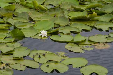 Белый цветок кувшинки на озере