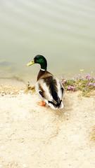 Pato en el río Foix, Barcelona