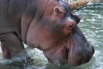 Hippopotamus Drinking
