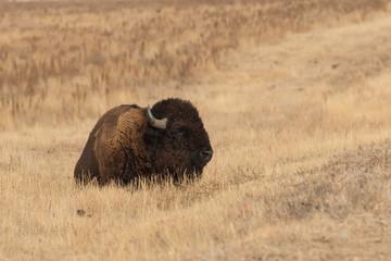 Bison Bedded
