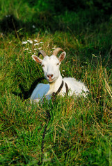 animal, country, countryside, farm, goat, grass, green
