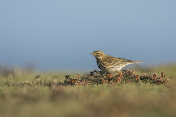 Meadow Pipit in afternoon sun