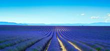 Lavande fleur éclose champs interminables rangées. Vue panoramique Val
