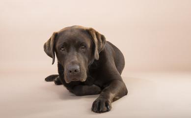 Chocolate Labrador lying on the ground.