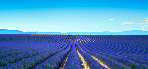 Lavender flower blooming fields endless rows. Panoramic view Val