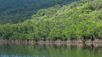 Lush green mangrove jungle river, Okinawa, Japan