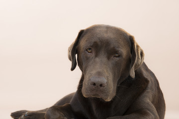 Cocolate Labrador lying on the ground in a studio.