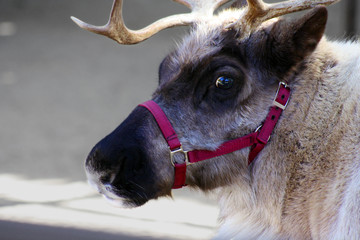 Close-up of a Reindeer