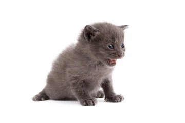 Image of cute gray kitten meows