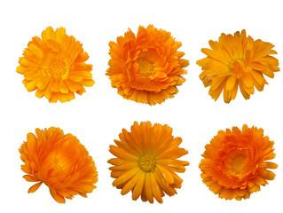 calendula  - bright beautiful orange flower