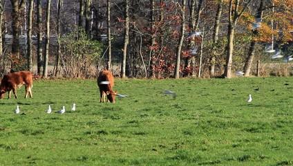 Rinder grasen auf der Weide