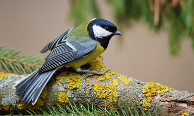 Great Tit and Christmas Tree