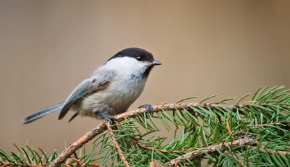 Marsh Tit on Christmas Tree