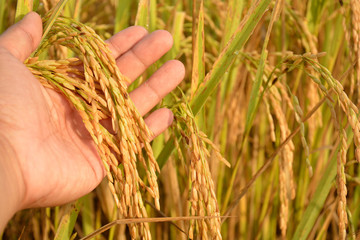 rice on Hand in Cornfield