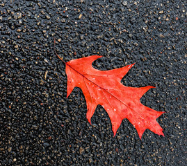 Autumnal oak leaf on background of asphalt
