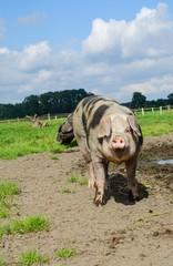Alte Hausschweinrassen - Buntes Bentheimer Landschwein