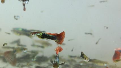 Guppy fish in water pond