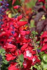 fleur de penstemon