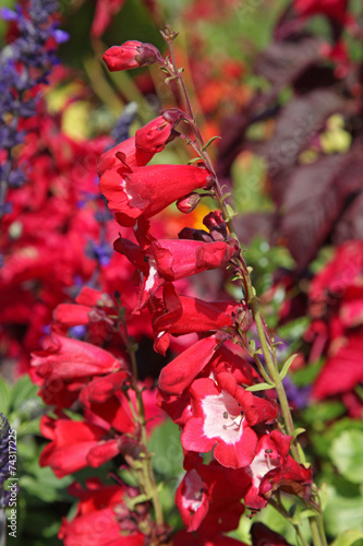 canvas print picture fleur de penstemon
