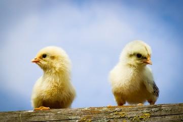 Zwei junge Hühnerküken sitzen auf einem Holzbalken