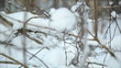 Winter forest in snow, dolly 17