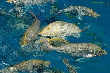 ミコマスケイ 魚の餌付けショー