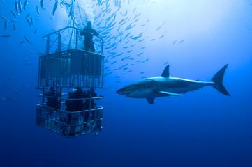 weißer Hai vor Käfig