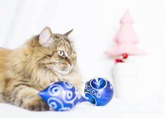 female kitten of siberian breed in Christmas time