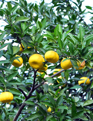 Tangerine tree in a citrus garden