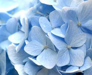Light-blue hydrangea flowers