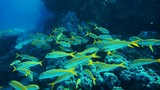 Shoal of yellowfin goatfish poster