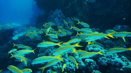 Shoal of yellowfin goatfish