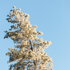 christmas background of snowy forest, frosted tree tops on sky