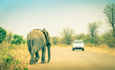 Elephant crossing the road at safari in Kruger Park