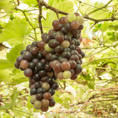 ripening grape clusters on the vine