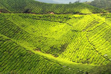 beautiful green tea plantations landscape