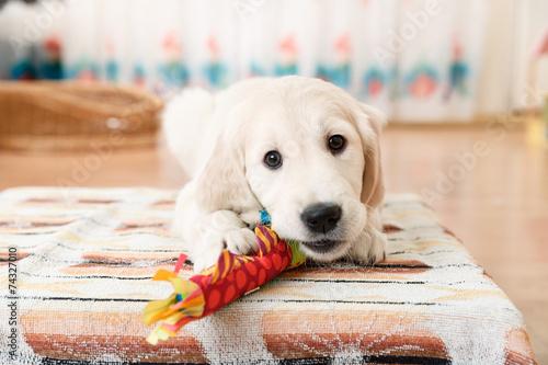 Fototapeten Hunde labrador retriever puppy